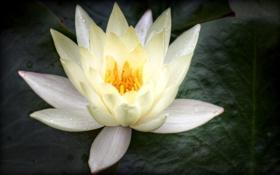 Обои макро, лилия, лепестки, белая, водяная