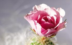 Обои цветок, макро, роза, лепестки