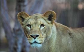 Картинка взгляд, хищник, лев, львица