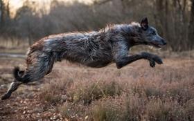 Обои прыжок, собака, sighthound