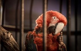 Обои красный, птица, клетка, попугай, ара