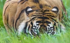 Обои кошка, трава, взгляд, тигр, ©Tambako The Jaguar, суматранский
