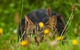 Картинка кошка, трава, глаза, кот, взгляд, природа, зеленые