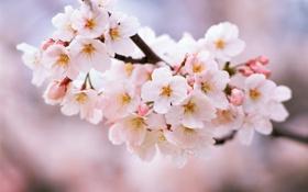 Обои весна, цветение, вишня, природа, лепестки, ветка, цветы