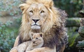 Обои львёнок, ©Tambako The Jaguar, детёныш, котёнок, лев, кошка
