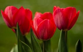 Обои бутоны, тюльпаны, макро