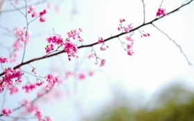 Обои flower, spring, sakura