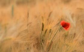 Картинка поле, цветок, трава, мак, колосья