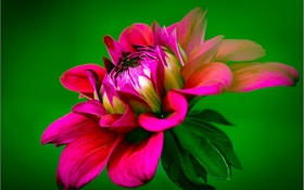 Обои цветок, лепестки, георгин, dahlia