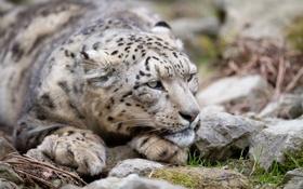 Картинка кошка, взгляд, морда, камни, ирбис, снежный барс