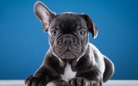 Обои милый, щенок, ухо, французский бульдог