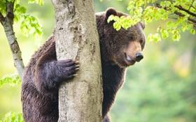 Картинка дерево, листва, медведь, зверь