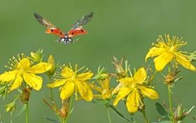 Обои цветы, полёт, жёлтые, божья, коровка.крылья
