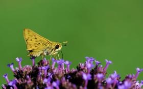 Обои цветок, насекомое, бабочка, растение, мотылек, крылья