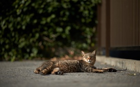 Обои кошка, кот, серый, отдых, полосатый