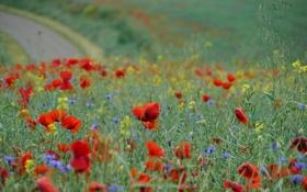 Обои цветы, поле, маки