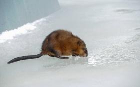 Обои природа, лёд, крыса