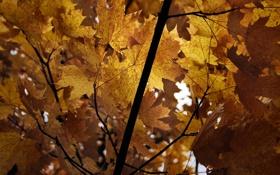 Обои осень, ветки, листва, клен