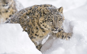 Обои зима, морда, снег, лапа, хищник, ирбис, снежный барс