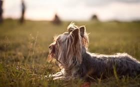 Обои поле, свет, собака