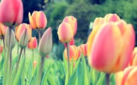 Обои colors, Red, flowers, Tulips