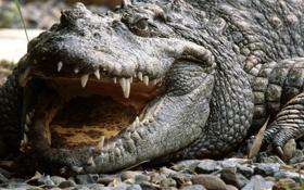Обои Vietnam, Siamese Crocodile, злость