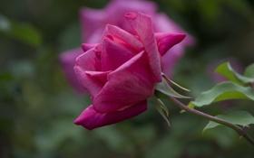 Обои роза, лепестки, бутон