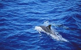 Обои море, волны, вода, дельфин, всплески