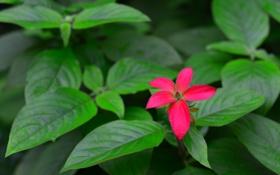 Обои цветок, листья, растение, куст, лепестки, сад