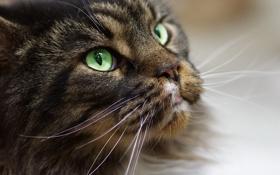Картинка кошка, глаза, усы, взгляд, морда