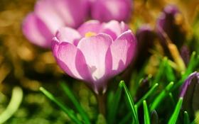 Картинка цветок, трава, макро, свет, розовый, весна, лепестки