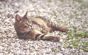 Обои кот, кошак, лежит, котяра, камушки
