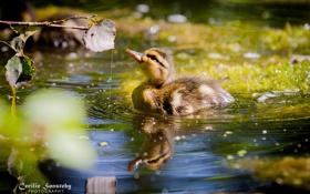 Картинка вода, капли, отражения, птица, утка, маленькая, боке