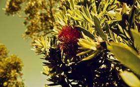 Картинка цветок, nature, кусты, деревья, трава, природа, Grevillea