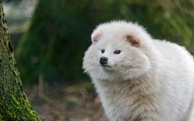 Картинка взгляд, морда, собака, ©Tambako The Jaguar, енотовидная