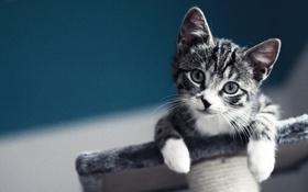 Обои Взгляд, Глаза, Котик, Синий фон, Ушки, Лапки, Довольный