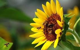 Обои лето, солнце, настроение, подсолнух, пчёлы