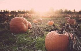Картинка sunset, autumn, pumpkins