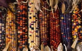 Обои кукуруза, разноцвет, початки
