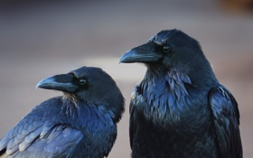 Картинка птицы, фон, вороны