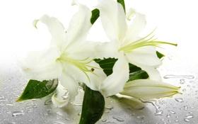 Обои вода, цветы, капельки, бутоны, water, flowers, листики