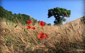 Обои поле, небо, деревья, цветы, маки
