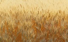 Обои поле, лето, колос, растения, урожай, колосья