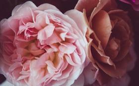 Обои цветы, розовая, розы