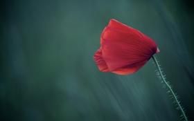 Картинка поле, цветок, макро, красный, фон, мак
