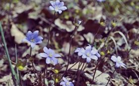 Обои цветы, земля, лепестки, голубые