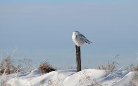 Картинка зима, трава, снег, сова, птица, столб