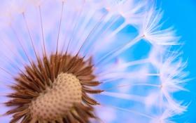 Картинка macro, dandelion, spores