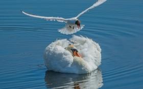 Картинка вода, птицы, чайка, лебедь