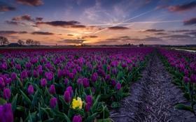 Обои поле, небо, облака, пейзаж, закат, цветы, фиолетовые